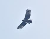 大冠鷲 Crested Serpent Eagle :DSC_1857.JPG