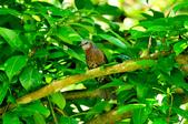 棕耳鵯Chestnut-eared Bulbul :DSC_7338.JPG