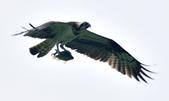 魚鷹 Osprey   :DSC_4319.JPG