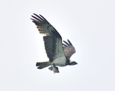魚鷹 Osprey   :DSC_4309.JPG