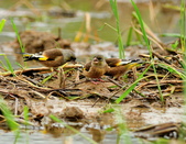 金翅雀  Oriental Greenfinch :DSC_0488.JPG