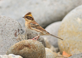 黃喉鵐  Yellow-throated Bunting:DSC_2557.JPG