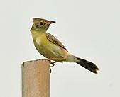關渡之黃頭扇尾鶯:DSC_0388.JPG