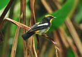 黃眉黃鶲Narcissus Flycatcher :DSC_0771.JPG