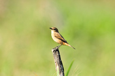 黑喉鴝Common Stonechat  :DSC_9419.JPG