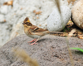 黃喉鵐  Yellow-throated Bunting:DSC_2564.JPG
