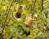 蜂鷹覓食:DSC_1162.JPG