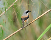 棕背伯勞 Black-headed Shrike  :DSC_2113.JPG