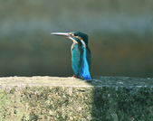 翠鳥  Common Kingfisher   :DSC_2370.JPG