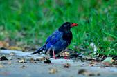 台灣藍鵲  Taiwan Blue Magpie :DSC_2321.JPG