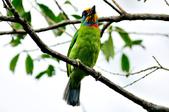 五色鳥  Muller's Barbet   :DSC_3666.JPG