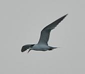 鳳頭燕鷗:DSC_7352.JPG