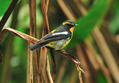 黃眉黃鶲Narcissus Flycatcher :DSC_0774.JPG