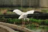 白鶴  Siberian Crane :DSC_0057.JPG