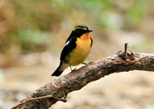 黃眉黃鶲Narcissus Flycatcher :DSC_0779.JPG