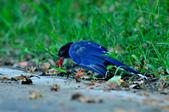 台灣藍鵲  Taiwan Blue Magpie :DSC_2305.JPG