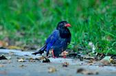 台灣藍鵲  Taiwan Blue Magpie :DSC_2329.JPG