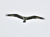 魚鷹 Osprey      :DSC_0268.JPG