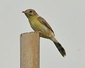 關渡之黃頭扇尾鶯:DSC_0389.JPG