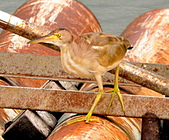 黃小鷺:DSC_4912.JPG