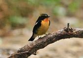黃眉黃鶲Narcissus Flycatcher :DSC_0780.JPG