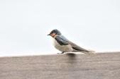 洋燕  Pacific Swallow   :DSC_7099.JPG
