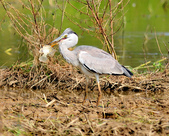 蒼鷺 Grey Heron     :DSC_5762.JPG