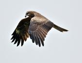 老鷹   Black kite   :DSC_6714.JPG