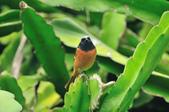 黃尾鴝 Daurian Redstart  :DSC_2460.JPG