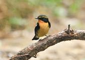 黃眉黃鶲Narcissus Flycatcher :DSC_0781.JPG