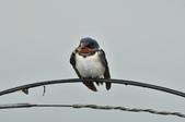 家燕  Barn Swallow   :DSC_4600.JPG