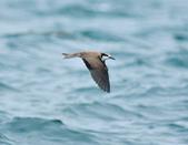 白眉燕鷗Bridled Tern :DSC_0426.JPG