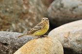 金鵐 Yellow-breasted Bunting  :DSC_7234.JPG