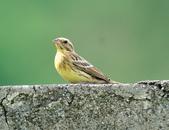 金鵐 Yellow-breasted Bunting  :DSC_6555.JPG