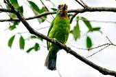 五色鳥  Muller's Barbet   :DSC_3670.JPG