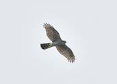北雀鷹  Northern Sparrow Hawk  :DSC_1002.JPG