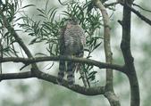 北雀鷹  Northern Sparrow Hawk :DSC_1470.JPG