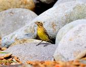 金鵐 Yellow-breasted Bunting  :DSC_6589.JPG