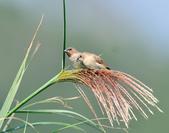 斑文鳥 Nutmeg Mannikin :DSC_6028.JPG