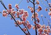魚池鄉鹿篙社區櫻花:20130224-IMG_6043-01.jpg
