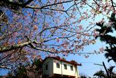 魚池鄉鹿篙社區櫻花:20130224-IMG_5978.jpg