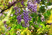 紫藤:紫藤0069.JPG