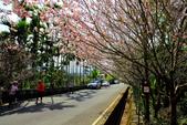 魚池鄉鹿篙社區櫻花:20130224-IMG_6017.jpg