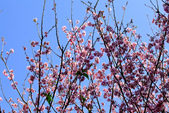 魚池鄉鹿篙社區櫻花:20130224-IMG_5983.jpg