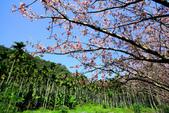 魚池鄉鹿篙社區櫻花:20130224-IMG_6018.jpg