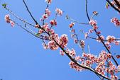 魚池鄉鹿篙社區櫻花:20130224-IMG_6044.jpg