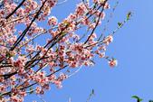 魚池鄉鹿篙社區櫻花:20130224-IMG_6045.jpg