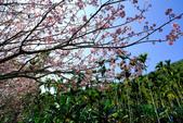 魚池鄉鹿篙社區櫻花:20130224-IMG_6023.jpg