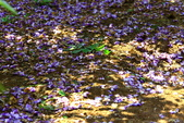 紫藤:紫藤0057.JPG
