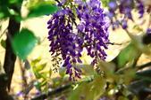 紫藤:紫藤0058.JPG